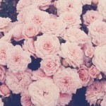 beautiful-burgendy-pink-roses-roses-Favim